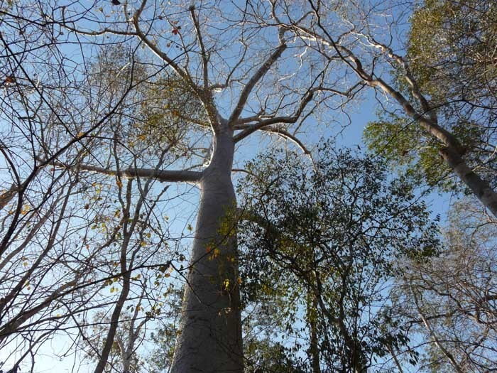Baobab za (Adansonia za)