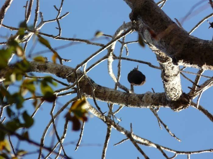 Baobab za (Adansonia za) - plody na stromě