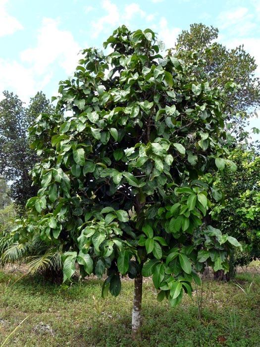 Strom chlebovníku afrického (Treculia africana)