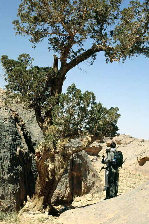Gruban: Saharský cypřiš