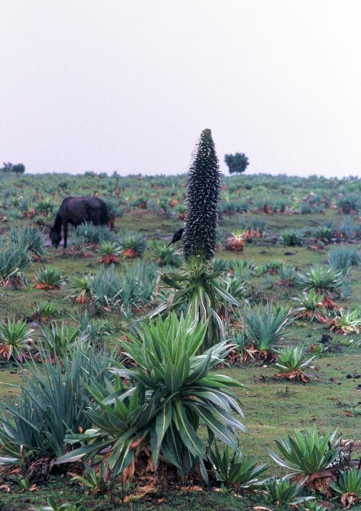 lobelka (Lobelia rhynchopetalum), Bale, Etiopie