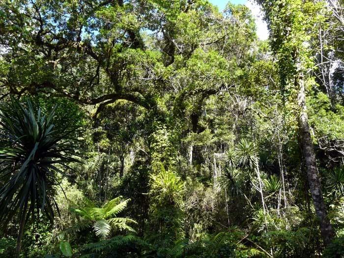 Horský deštný prales (N.P. De Montagne D´Ambre, Madagaskar)