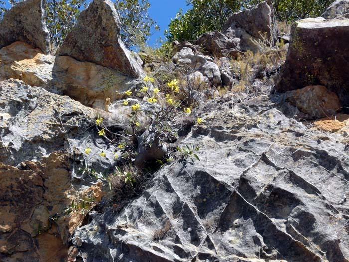 Pachypodium rosulatum, Isalo, Madagaskar