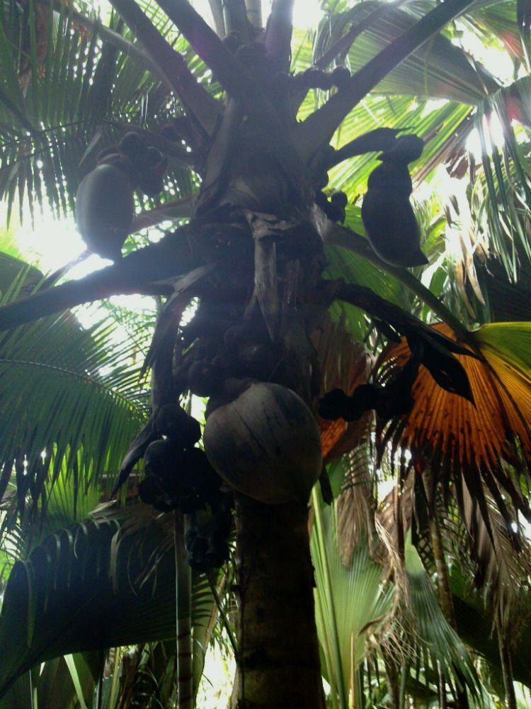 Reed Wiedower: palma Lodoicea