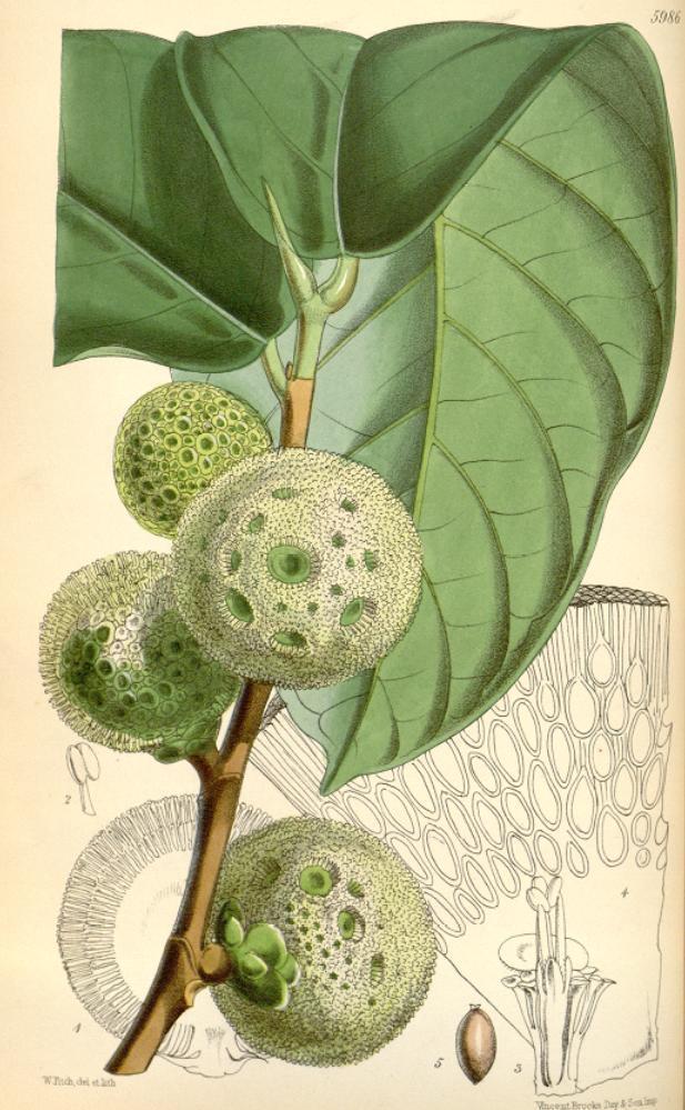 Ilustrace chlebovníku (Treculia africana), autor: Joseph Dalton Hooker (1817-1911)