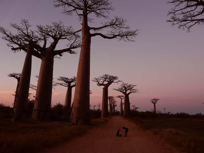 Grandidiérův baobab (Adansonia grandidieri) - Avenue baobab (Madagaskar, Vladimír Zikán)