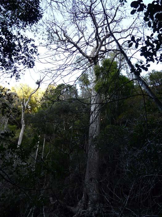 Perriérův baobab (Adansonia perrieri)