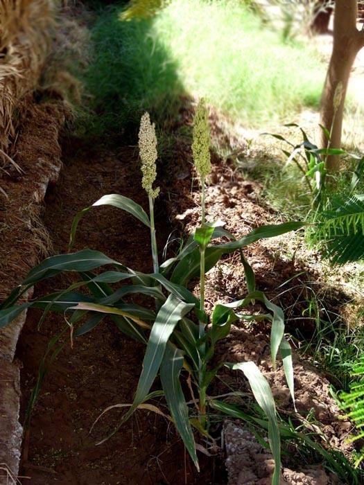 kvetoucí čirok (Sorghum bicolor)