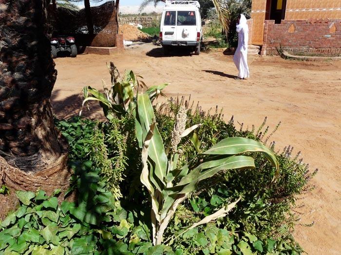 rostlina čiroku