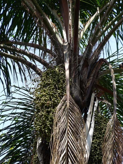 Plody datlovníku senegalského