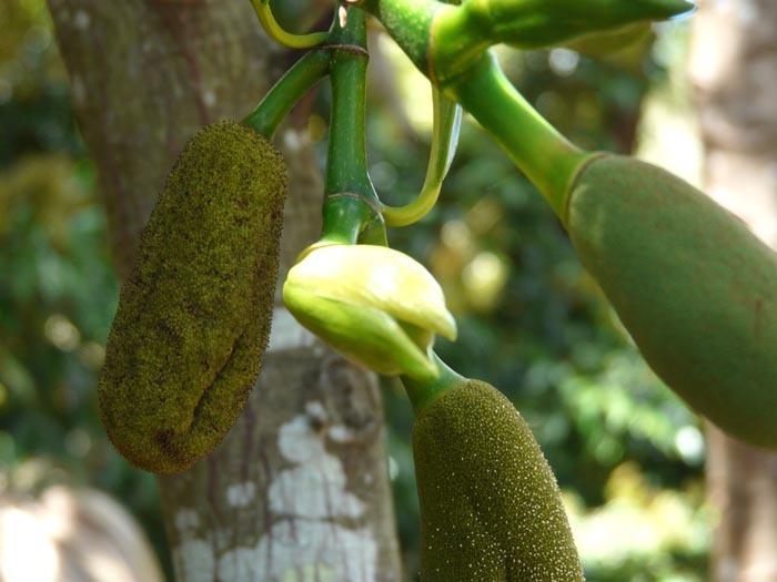 Džekfruit  květ