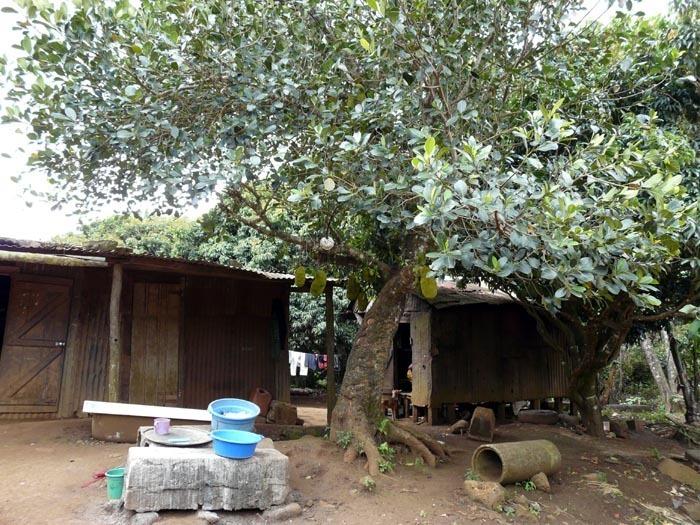 Džekfruit strom