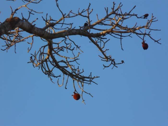 Grandidiérův baobab (Adansonia grandidieri) - plod