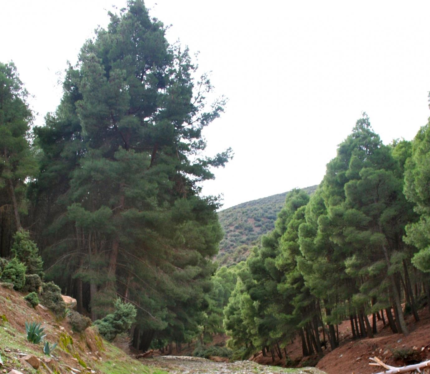 Borovice halepská (Pinus halepensis); foto: Adam Axon