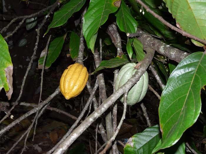 Kakaovník pravý plody