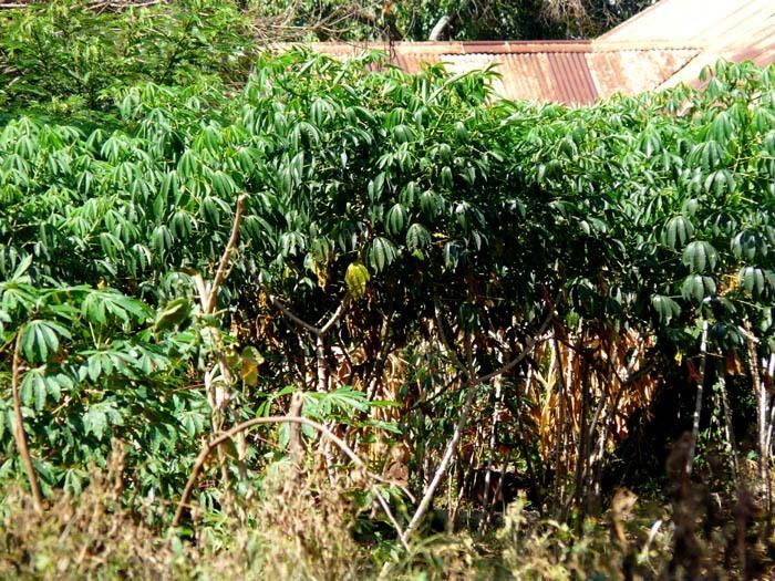 rosliny manioku v Ugandě
