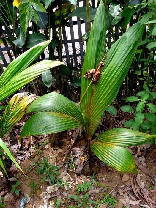 Klíčící kokosovník ořechoplodý