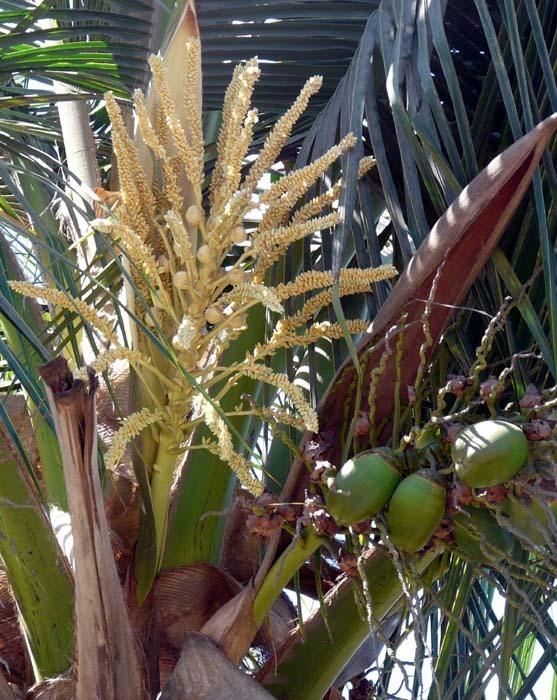 květ kokosovníku ořechoplodého (Cocos nucifera)