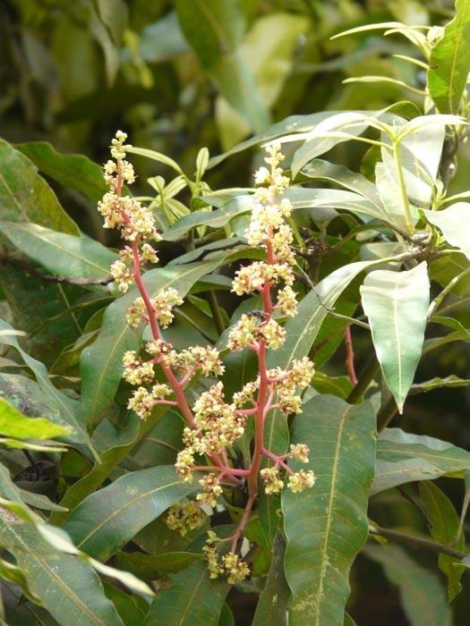 Květ mangovníku