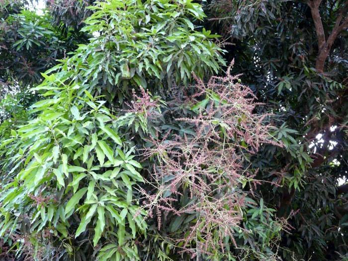 květenství mangovníku