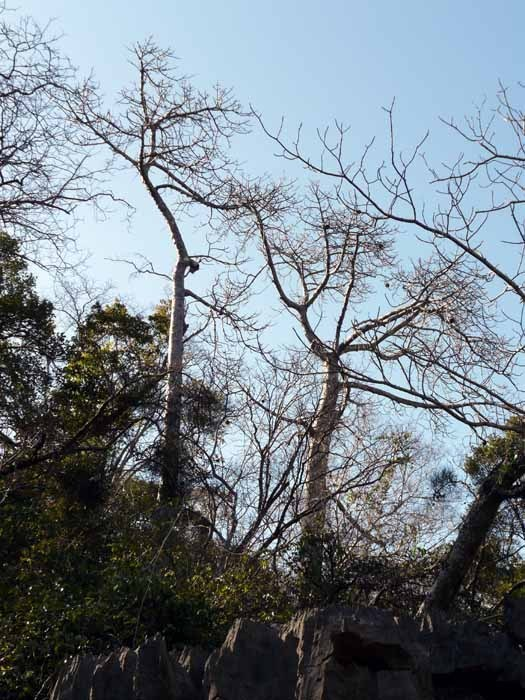 Madagaskarský baobab (Adansonia madagascariensis) - dospělý strom