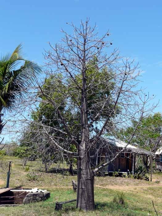 Madagaskarský baobab (Adansonia madagascariensis) - mladý strom