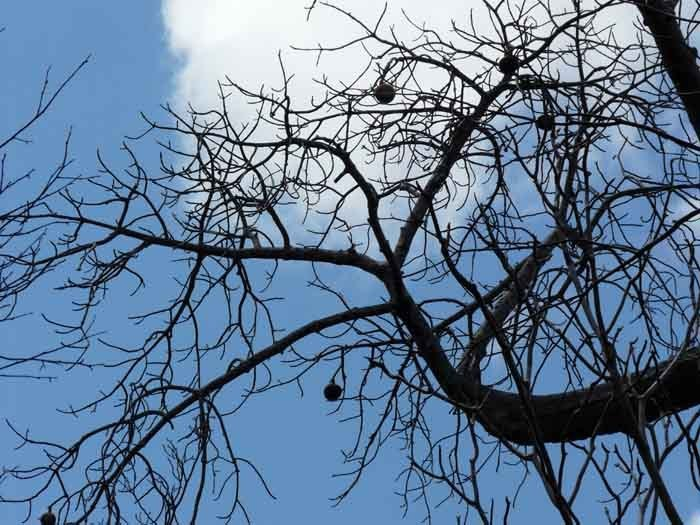 Madagaskarský baobab (Adansonia madagascariensis) - plod