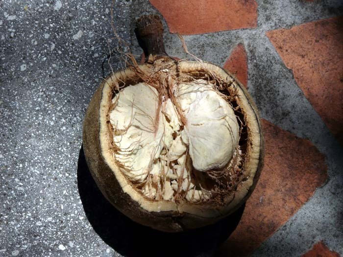 Madagaskarský baobab (Adansonia madagascariensis) - plod v řezu
