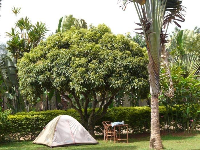 mangovník v Entebe