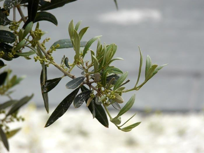 Květ olivovníku