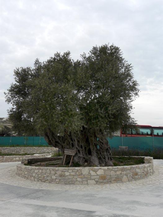Vzrostlý olivovník