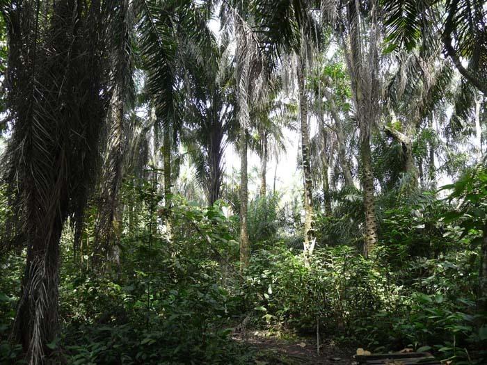 Palma olejná (Elaeis guineensis) - plantáž