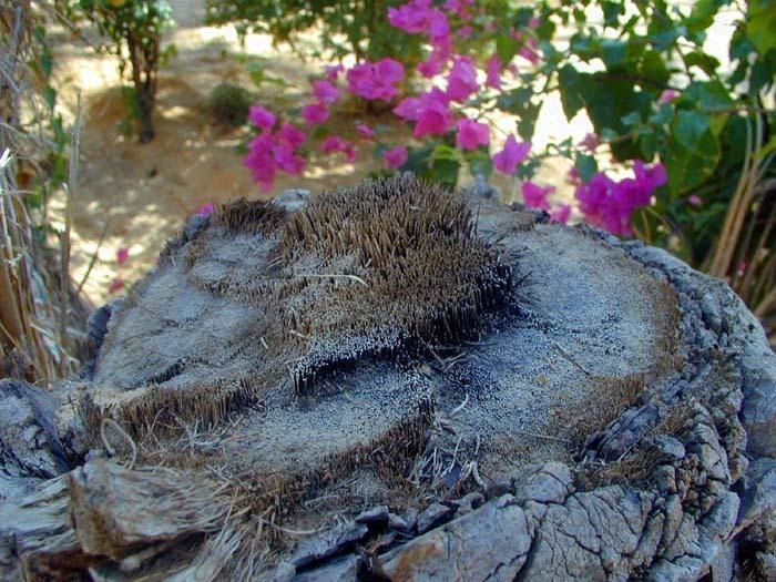 Pletiva palmy datlové