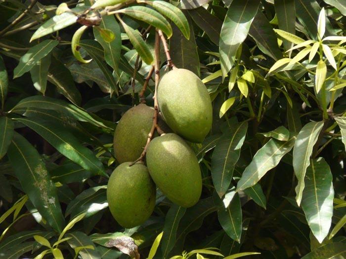 plody mangovníku