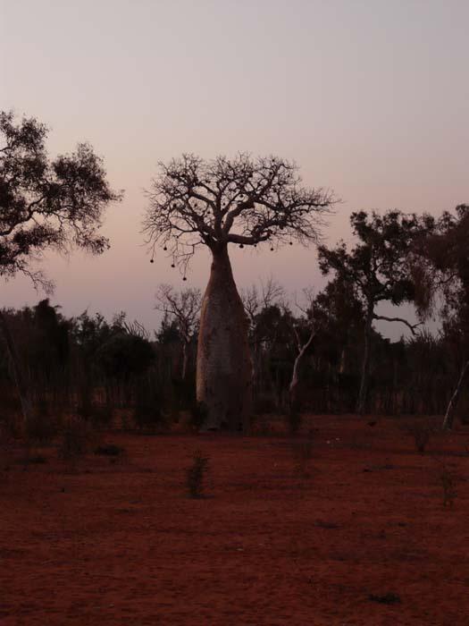 Baobab fony (Adansonia rubrostipa) - západ Slunce