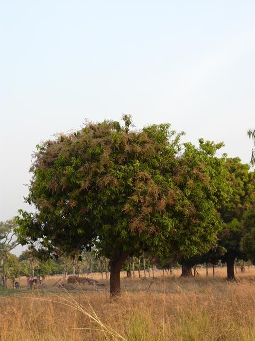 sady mangovníku