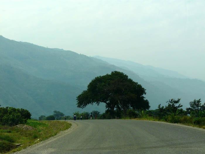 Fíkovník sykomora (Ficus sycomorus)