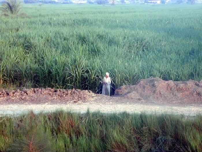 Třtinové pole v Egyptě