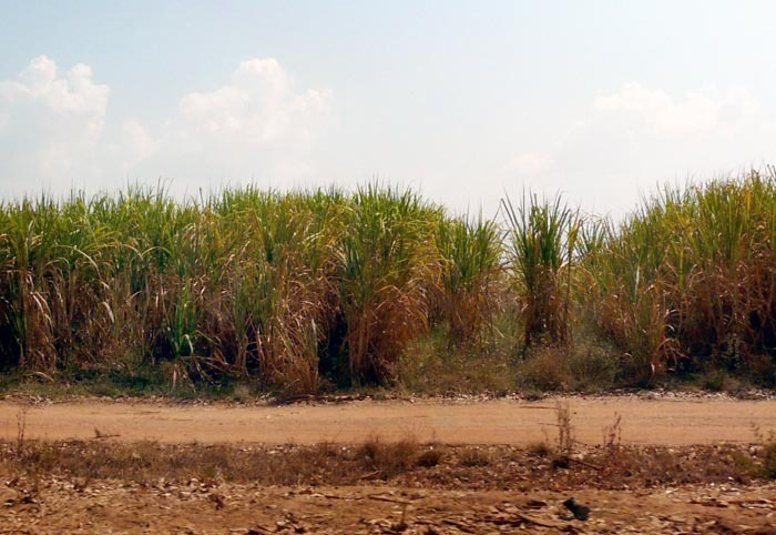 Třtinové pole v Burkině Faso