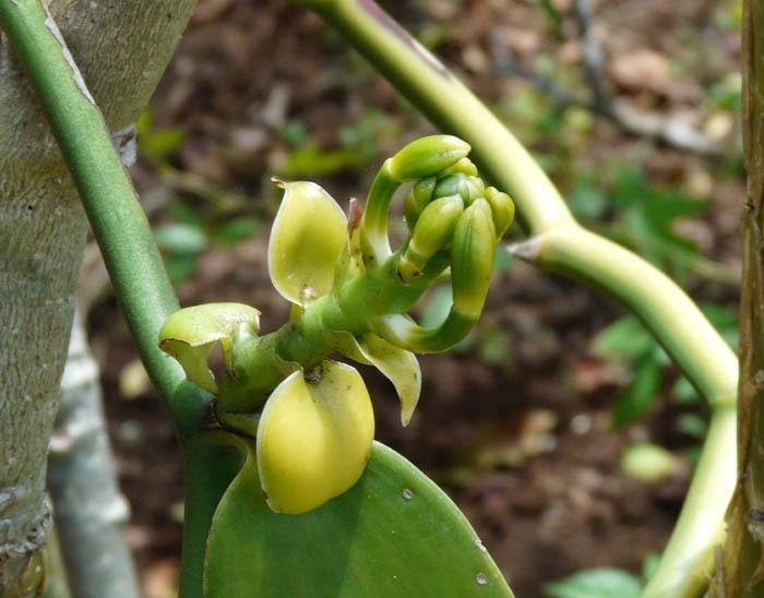 Vanilovník plocholistý - květ