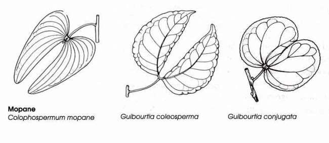 Listy stromů Mopane