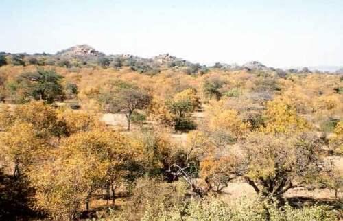 Les mopane