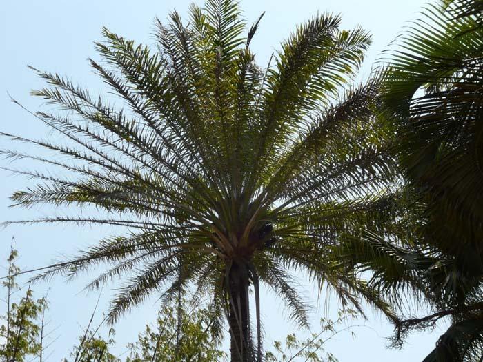 Palma olejná (Elaeis guineensis), Madagaskar