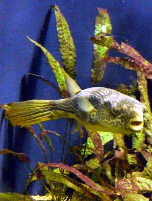 čtverzubec mbu (Tetraodon mbu)
