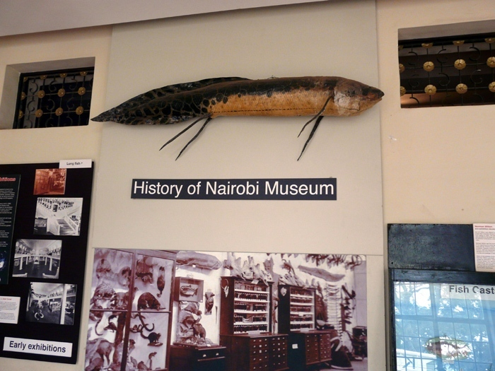 bahník východoafrický (Protopterus aethiopicus) v Národním muzeu v Nairobi