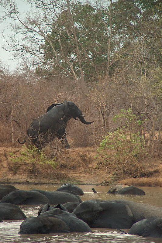 Koupající se sloni (Mole N.P., Ghana)