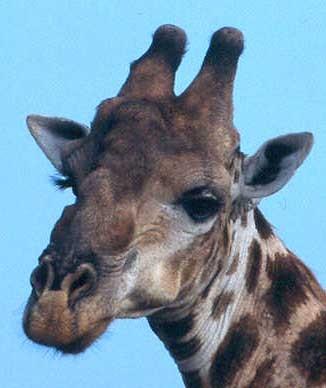 Žirafa - hlava samce