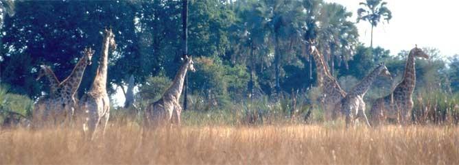 žirafí stádo Botswana