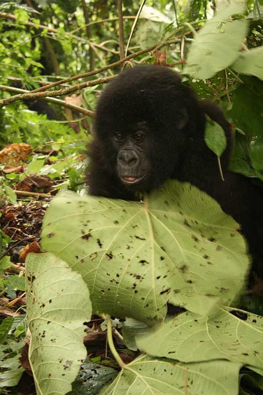 Gorila horská (Virunga N.P., DR-Kongo)