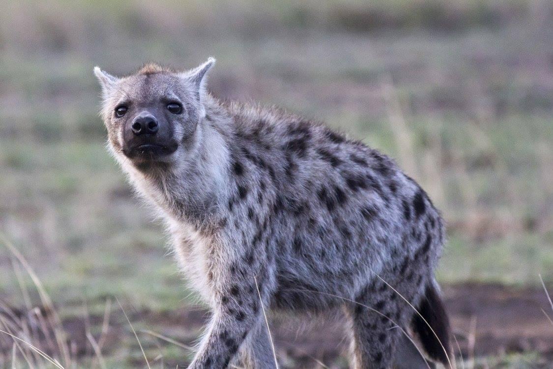 Hyena skvrnitá (Crocuta crocuta) (foto: Jana Hajduchová)